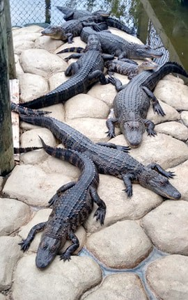 Alligators at mini golf course