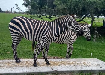 Visit Wild Florida Safari to see zebras from the comfort of your car.