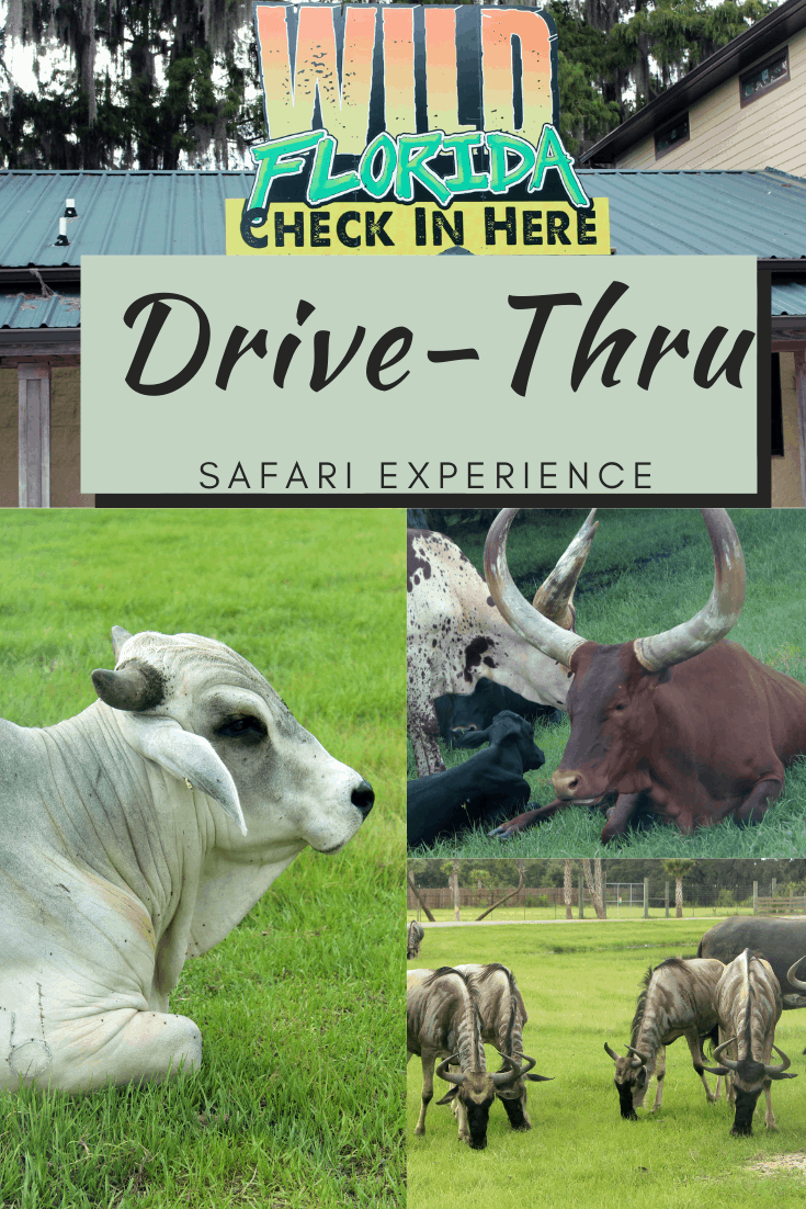 Central Florida has a drive-thru safari park where you can see a variety of animals. Not only can you get up close and personal by feeding a giraffe, but you can also see animals like zebras, ostriches, and many more! Even better, this is a safe option in light of the current world as you don't leave your car for the experience. Let me share some additional information with you about Wild Florida Drive-Thru Safari Park!