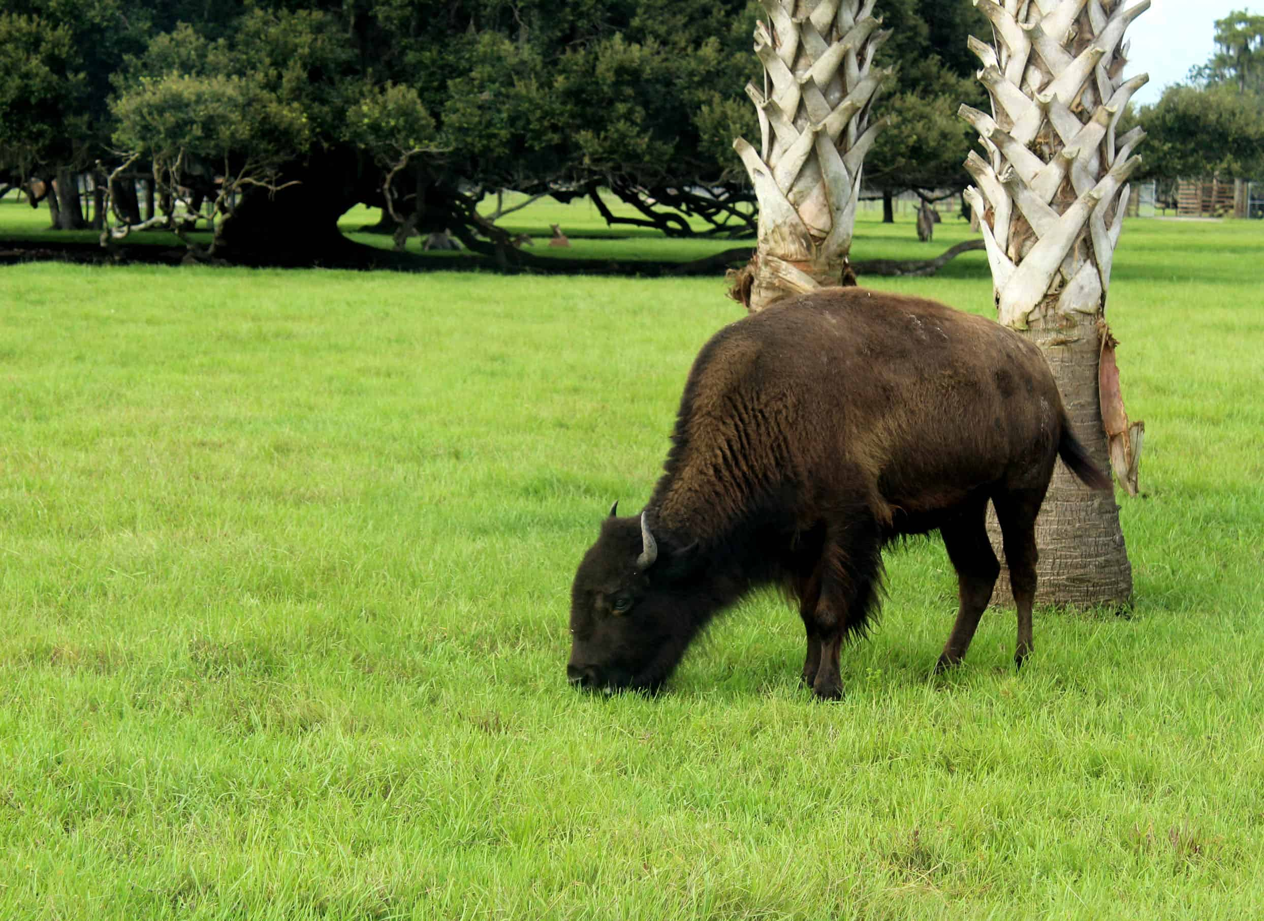 Bison at Wild Florida